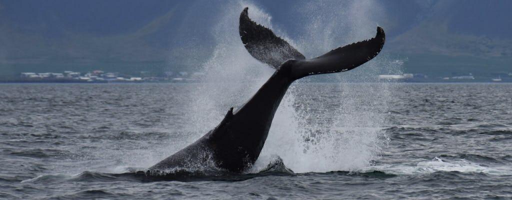 Obserwacja wielorybów z Reykjaviku