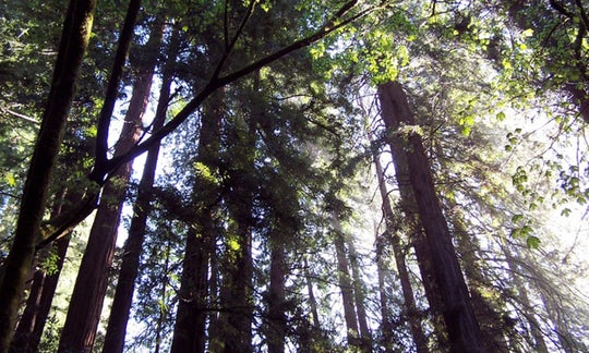 Muir Woods to California's Coastal Redwoods tour