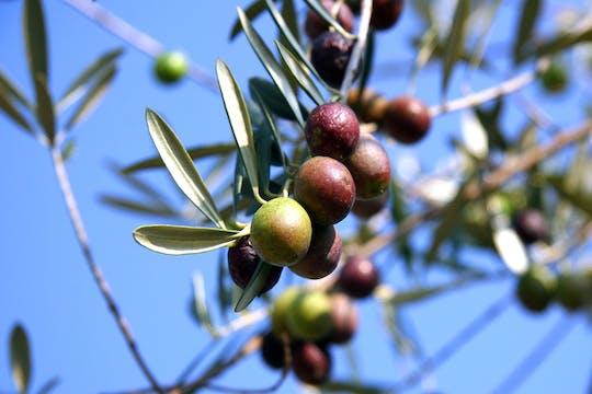 Visita a una finca de aceite de oliva desde Sevilla