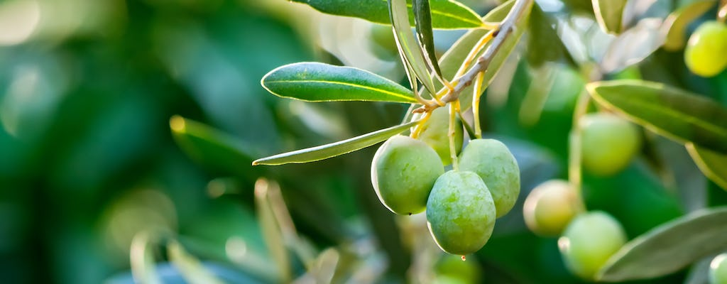 In Focus: The Olive Tree of Istanbul