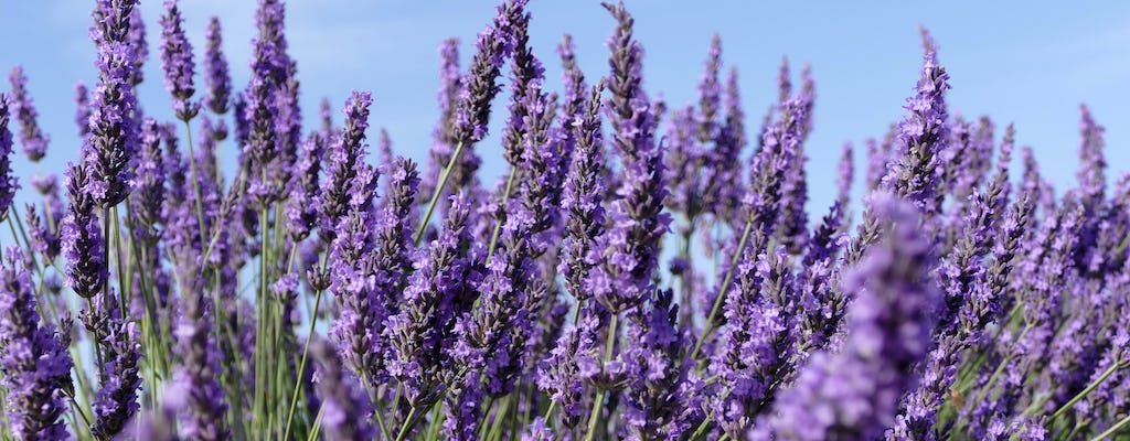 Lavender in Sault and tour of Gordes and Roussillon