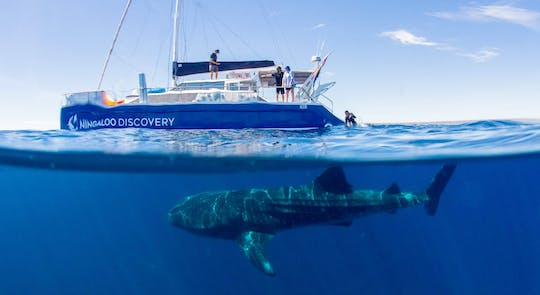 Ningaloo whale shark swim on a sailing catamaran