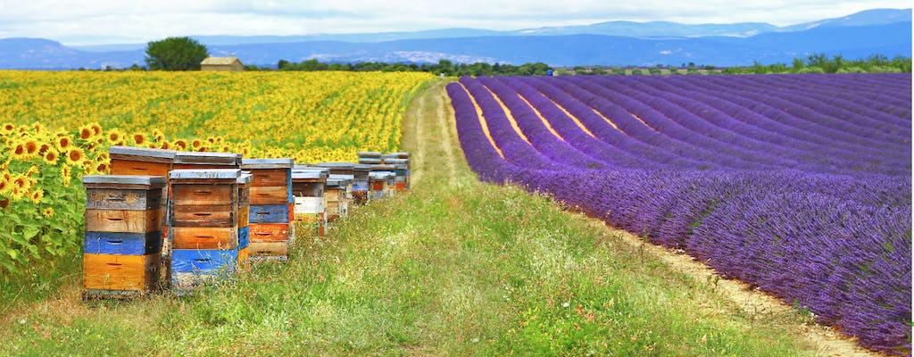 Lavendelfelder Morgenrundgang von Aix en Provence