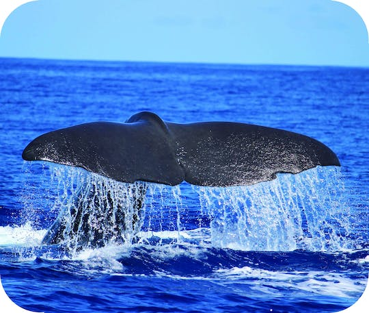 Madeira whale and dolphin watching tour
