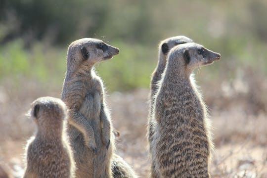 Oudtshoorn Meerkat Safari