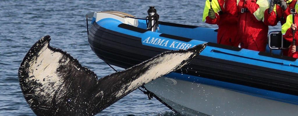 Excursão de safári por baleia grande em Húsavík e ilha Puffin em um barco RIB