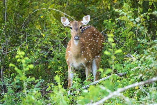 Safari en 4x4 dans le parc national de Yala