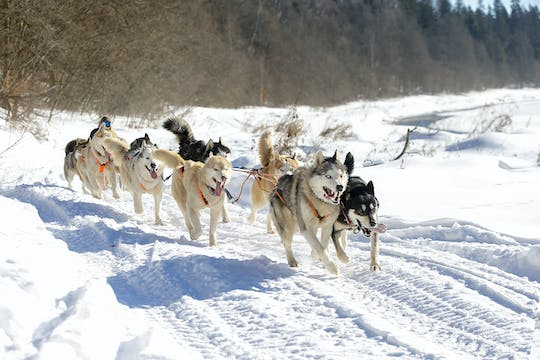 Husky dog-sledding with Russian traditional lunch in the Northern capital