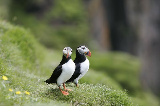 Classic puffin watching tour in Reykjavik