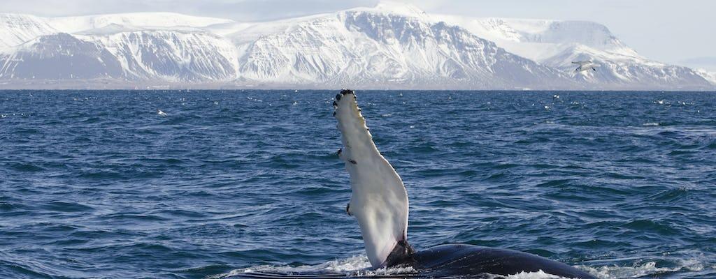 Klasyczna wycieczka do obserwowania wielorybów w Reykjaviku