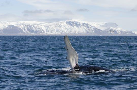 Excursão clássica de observação de baleias em Reykjavík