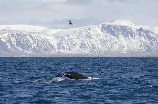 Tour premium de avistamiento de ballenas y frailecillos en Reikiavik