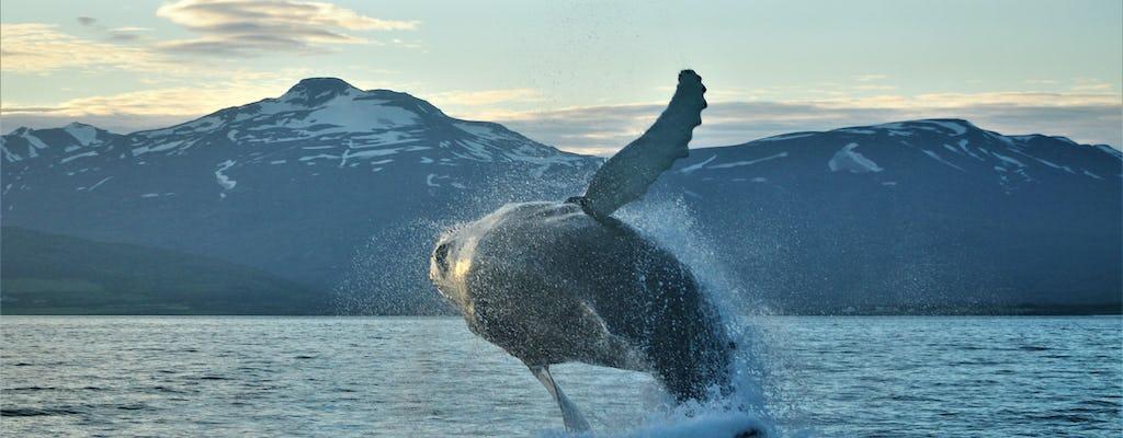 Avistamiento clásico de ballenas Akureyri