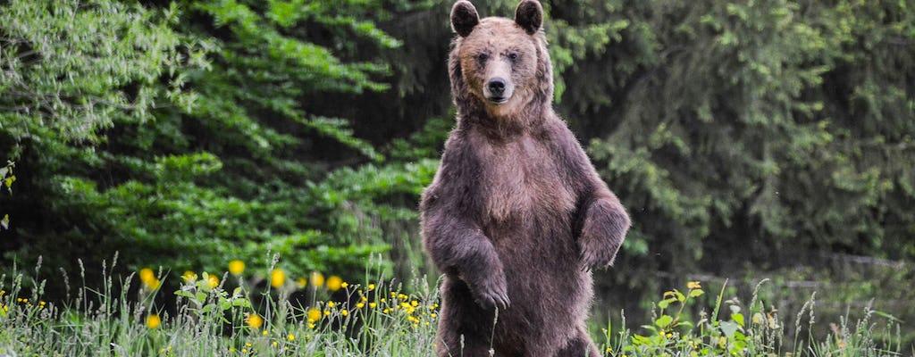 Bärenbeobachtung im Land der Vulkane