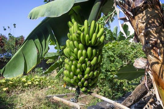 Finca Las Margaritas - Bananenplantage