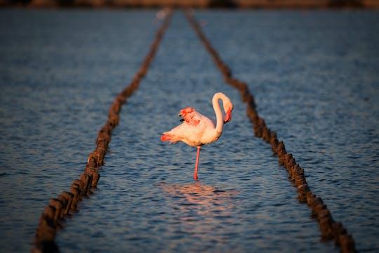 Фламинго оазис собственн-балансируя самокат