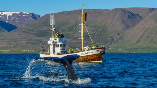 Observação de baleias em Hjalteyri, Islândia