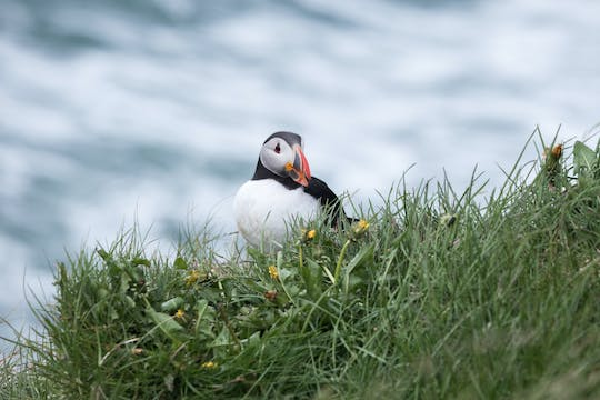 Puffin tour Iceland: Húsavík whale watching and puffins