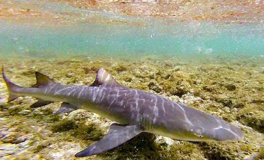 Sal Lemon Shark Experience