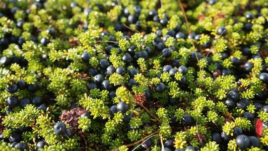 Picking wild berries and making your own jam