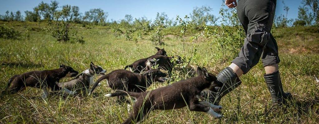 Addestra cuccioli di husky a Tromso