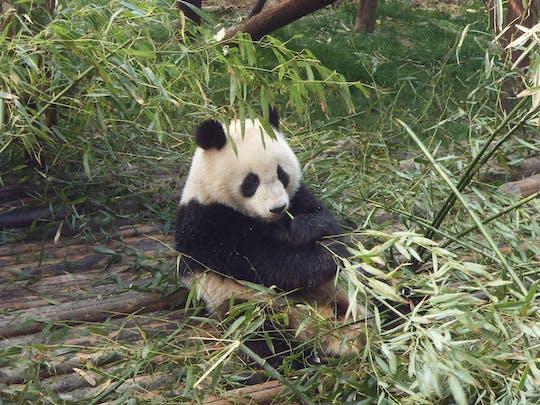 Pandas en Chengdu
