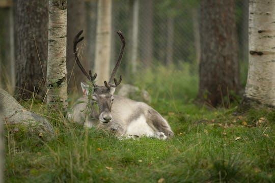 Reindeer farm and Ranua wildlife park visit