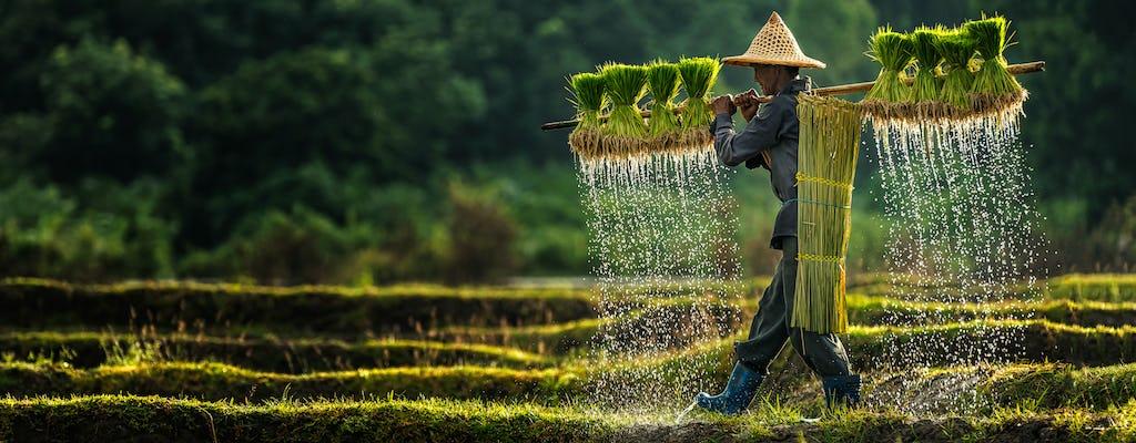 Tempels i wędruj przez ryż