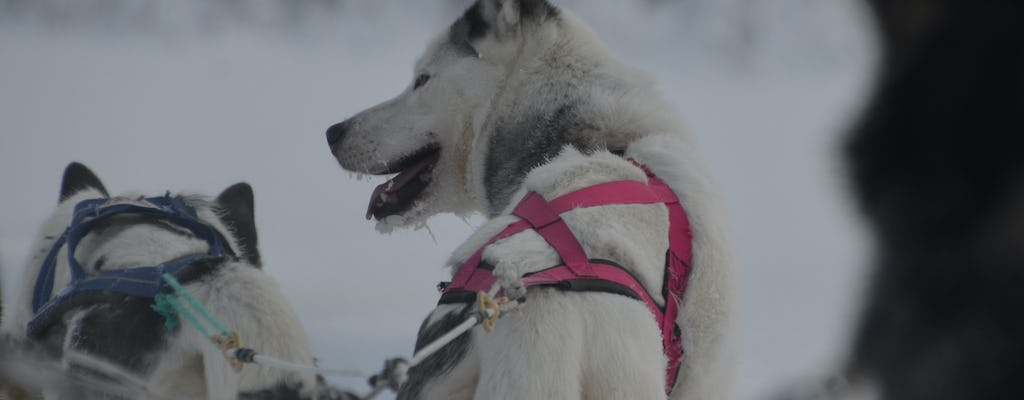 Visit a husky farm including a 10KM husky sleigh ride
