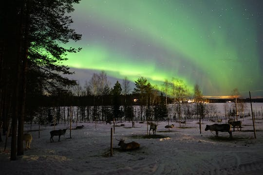 Chase the Aurora during a reindeer safari