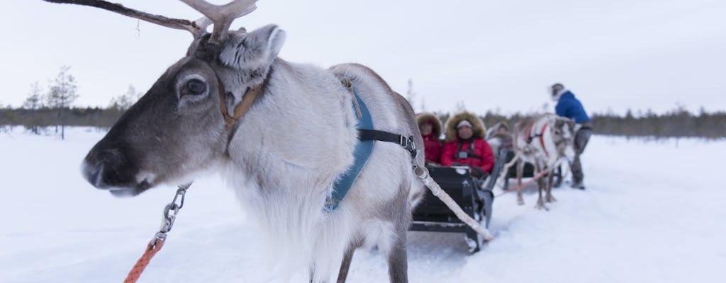 Safari de renas de uma fazenda de renas autêntica