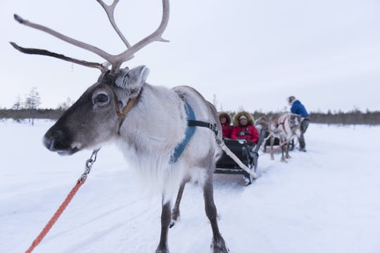 Reindeer safari from an authentic reindeer farm