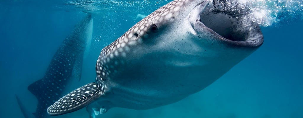 Oslob whale shark encounter