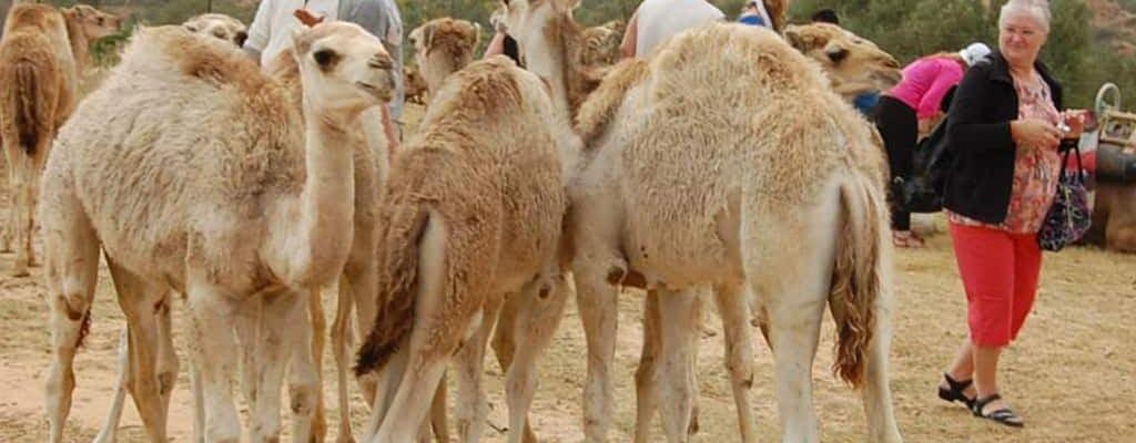 Tunesische Kamel-Karawanen-Tour durch die Wüste