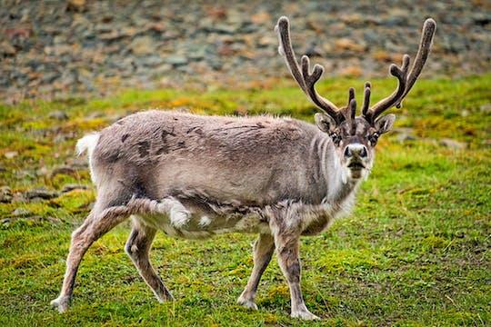 Visite privée du parc des rennes d'Helsinki et de Nuuksio