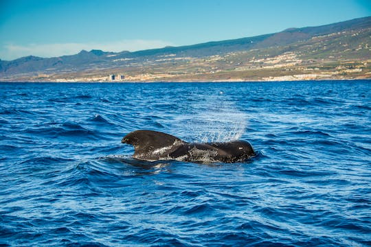 Whale and dolphin watching on a catamaran in Costa Adeje