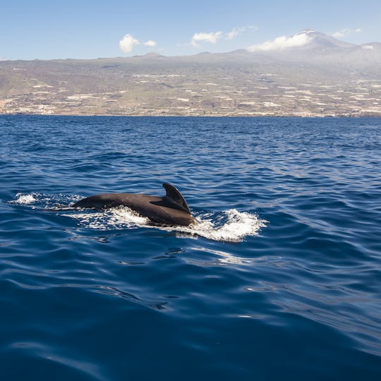 Dolphin watching and snorkeling experience in southern Tenerife
