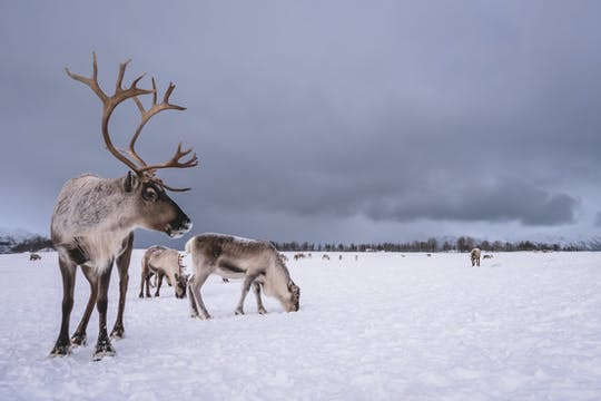 Connect with the reindeer experience