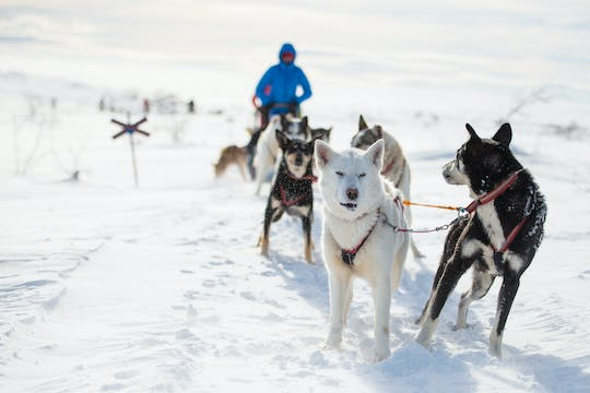Dogsledding experience in Sälen