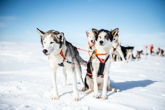 Extended dogsledding tour in Sälen