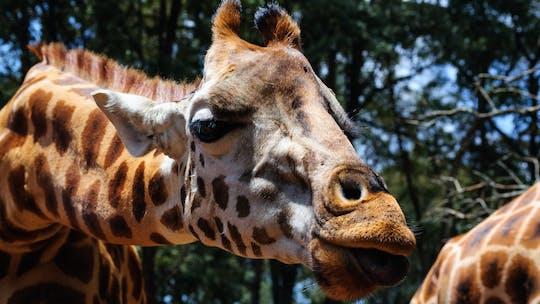Recorrido por el Sheldrick Wildlife Trust, el Museo Karen Blixen y el Centro de jirafas
