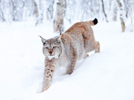 Lapland Wildlife Safari Tour