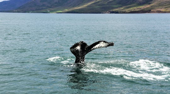 Whale watching express from Reykjavik