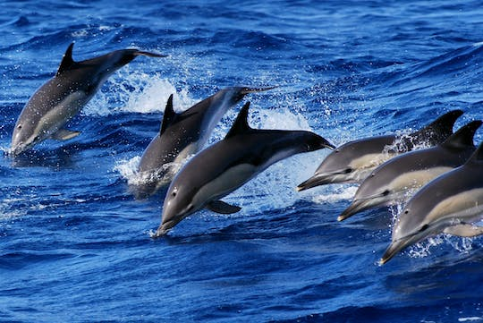 Swimming with dolphins experience in São Miguel