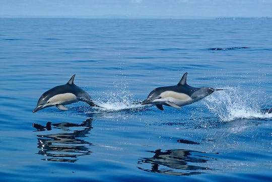 Whale and dolphin watching tour in northern São Miguel