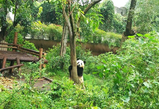 Full day private tour of Panda Base and Leshan Giant Buddha