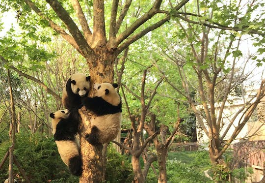 Full day private tour Giant Panda Base and city highlights
