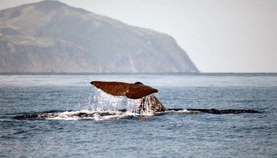 São Miguel Whale Watching Tour