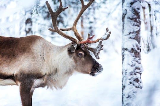 Yllas Reindeer Sleigh Tour