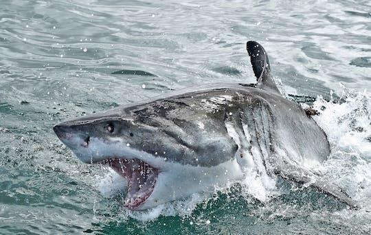 Gansbaai duiken in kooien met haaien